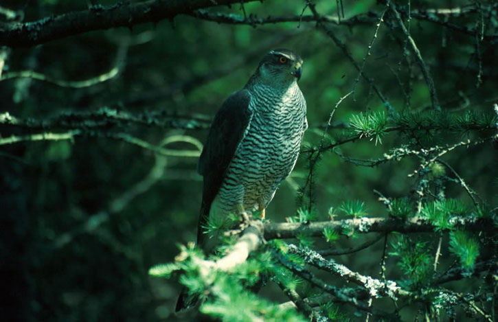 a female goshawk