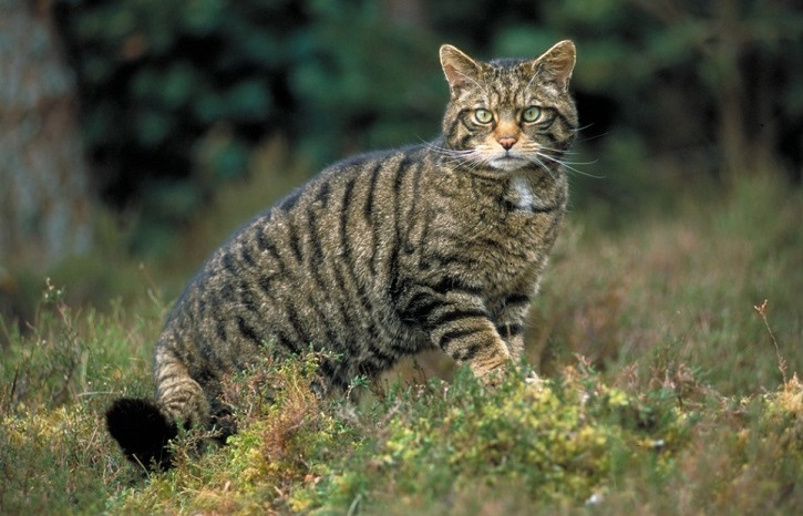 A wildcat staring towards the camera