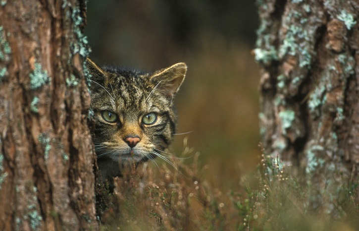 Scottish wildcat peering out from behind a tree