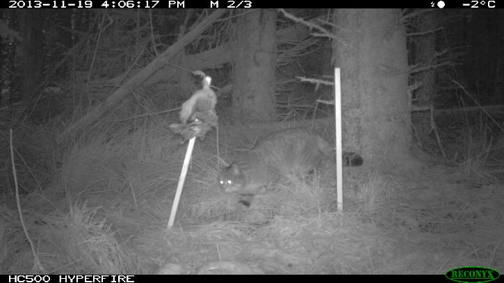 Black and white screenshot image from a trail camera showing a wildcat in a forest setting at night