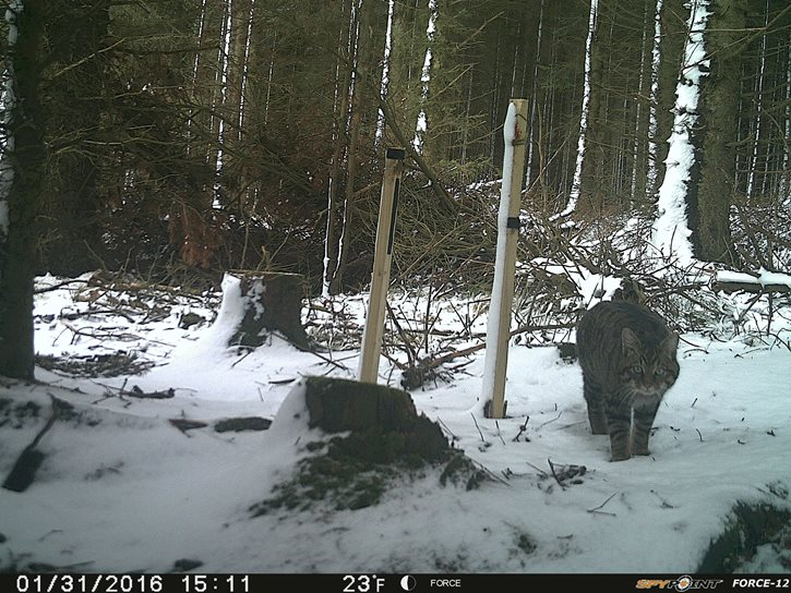 SWA Annie Sturgeon winter wildcat survey 2015 6