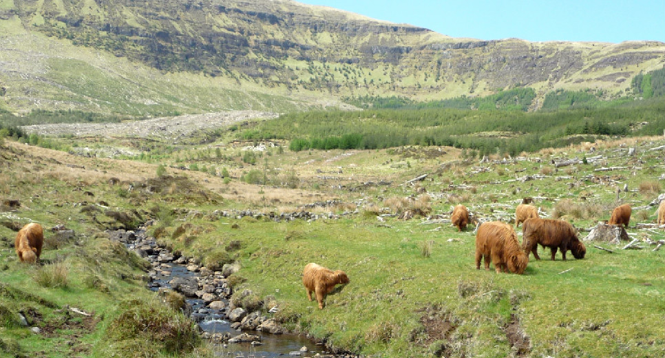 Several highland cows graving in a grassy field with a stream running through it and hills beyond
