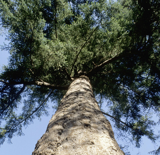 Image looking straight up the trunk of a tall coniferous tree
