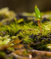 Close up of forest floor showing green mosses and single growing leaf standing above the moss