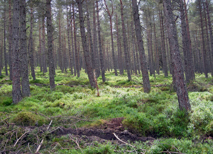 scots pine and blaeberry
