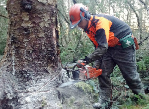 Sean Donaghy felling a tree with a chainsaw
