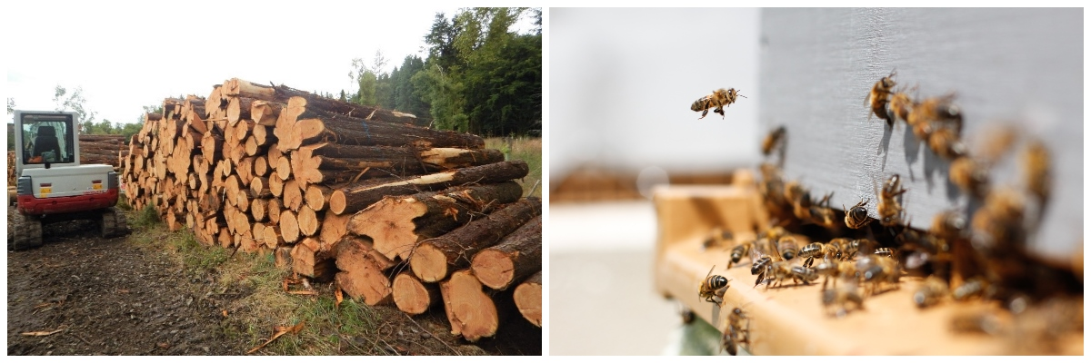 Two photos: A stack of red cedar logs; Bees at a beehive