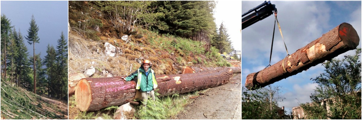 Three photos: A tree on a hillside; A forester standing in front of the felled log; The log hanging from a crane