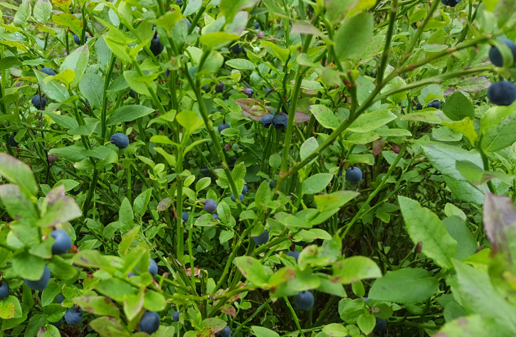 bilberries on bush in forest