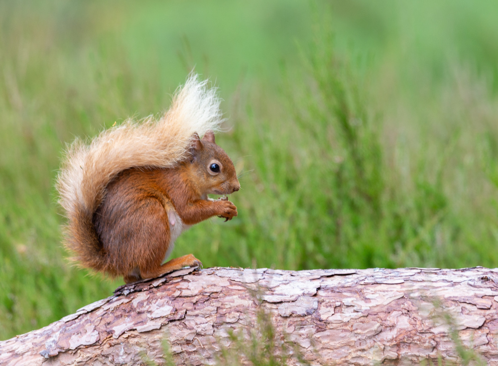 Close up of red squirrel standing on log side on with tail wrapped up over it's back, surrounded by grass