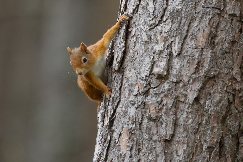 Red squirrel clinging to trunk of tree