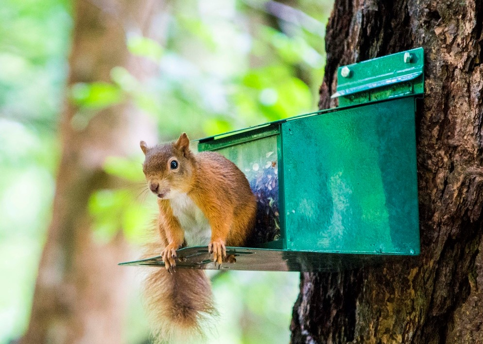 Red squirrel perched on feeder box attached to tree