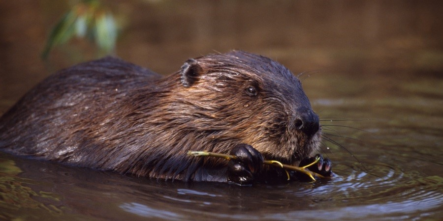 Beaver by Laurie Campbell