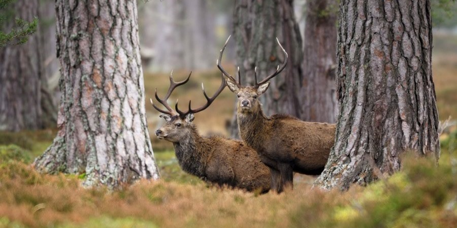 Red deer by Laurie Campbell
