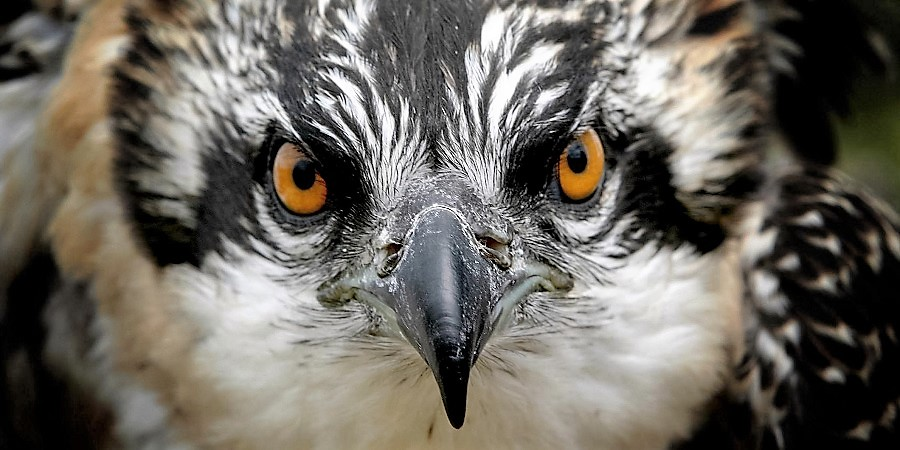 A close up of an alert osprey chick.