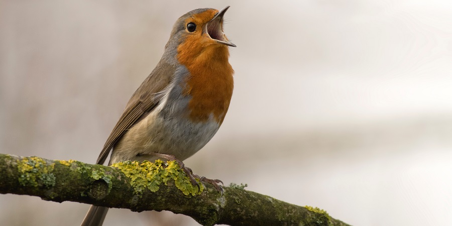 Robin by Jan Meeus from unsplash.com
