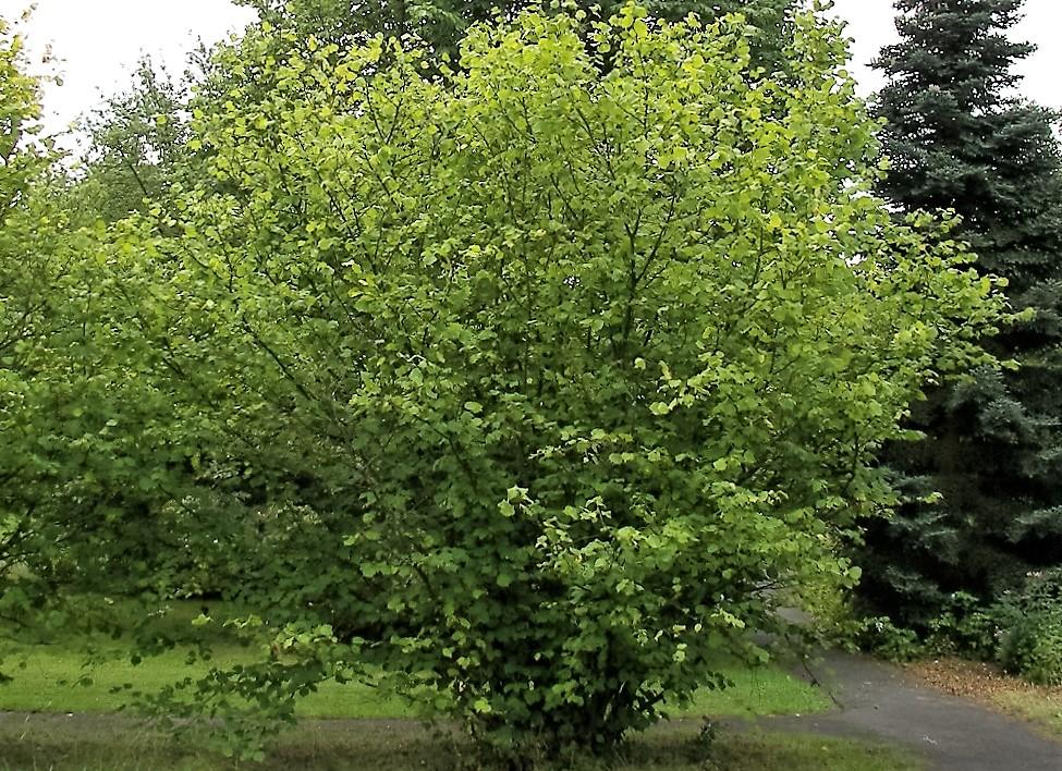 Image result for hazel tree