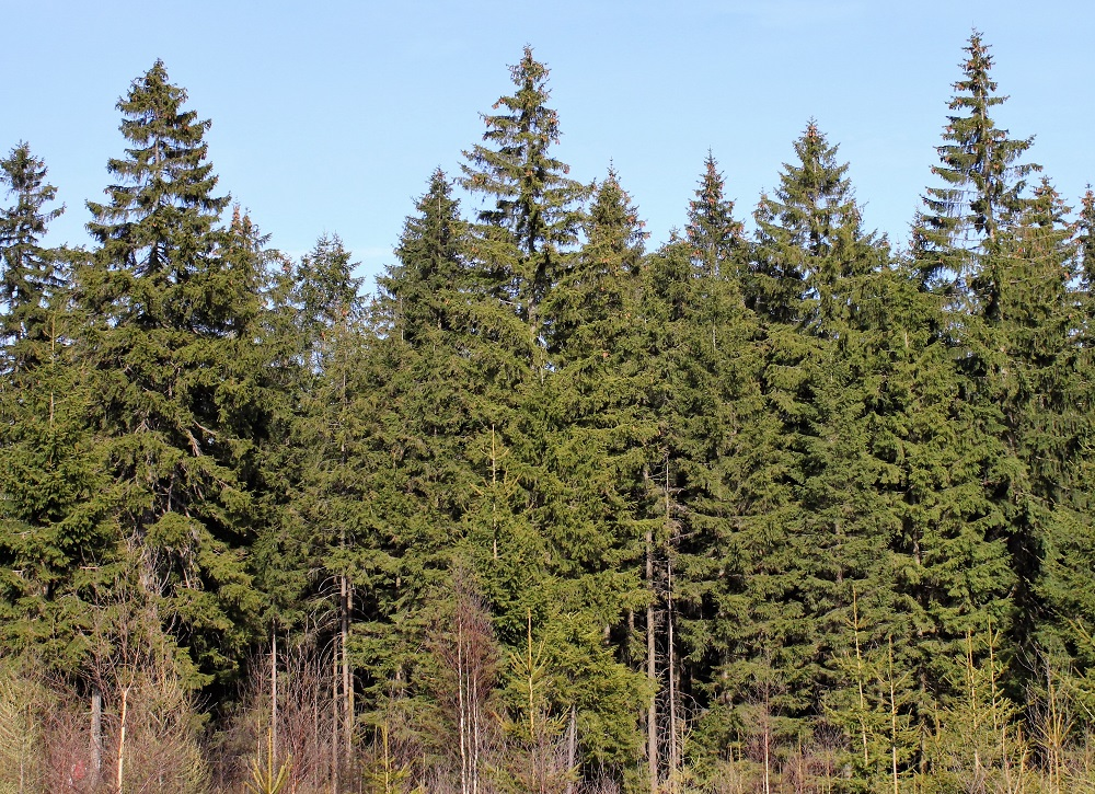 Norway spruce forest - licensed under Creative Commons Wikicommons/Cruiser