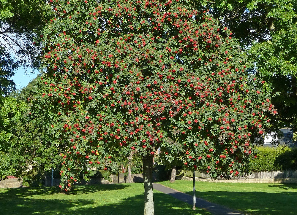 Rowan tree - licensed under Creative Commons Wikicommons/Tim Green