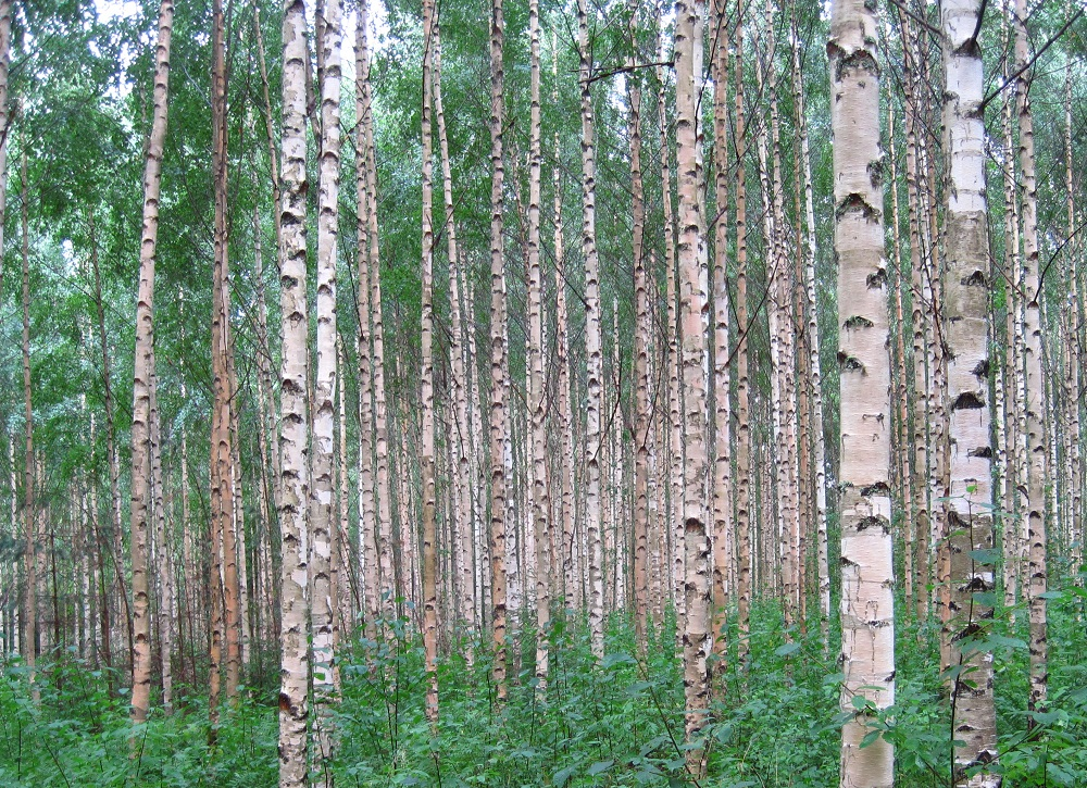 Silver birch woodland - licensed under Creative Commons Wikicommons/SeppVei