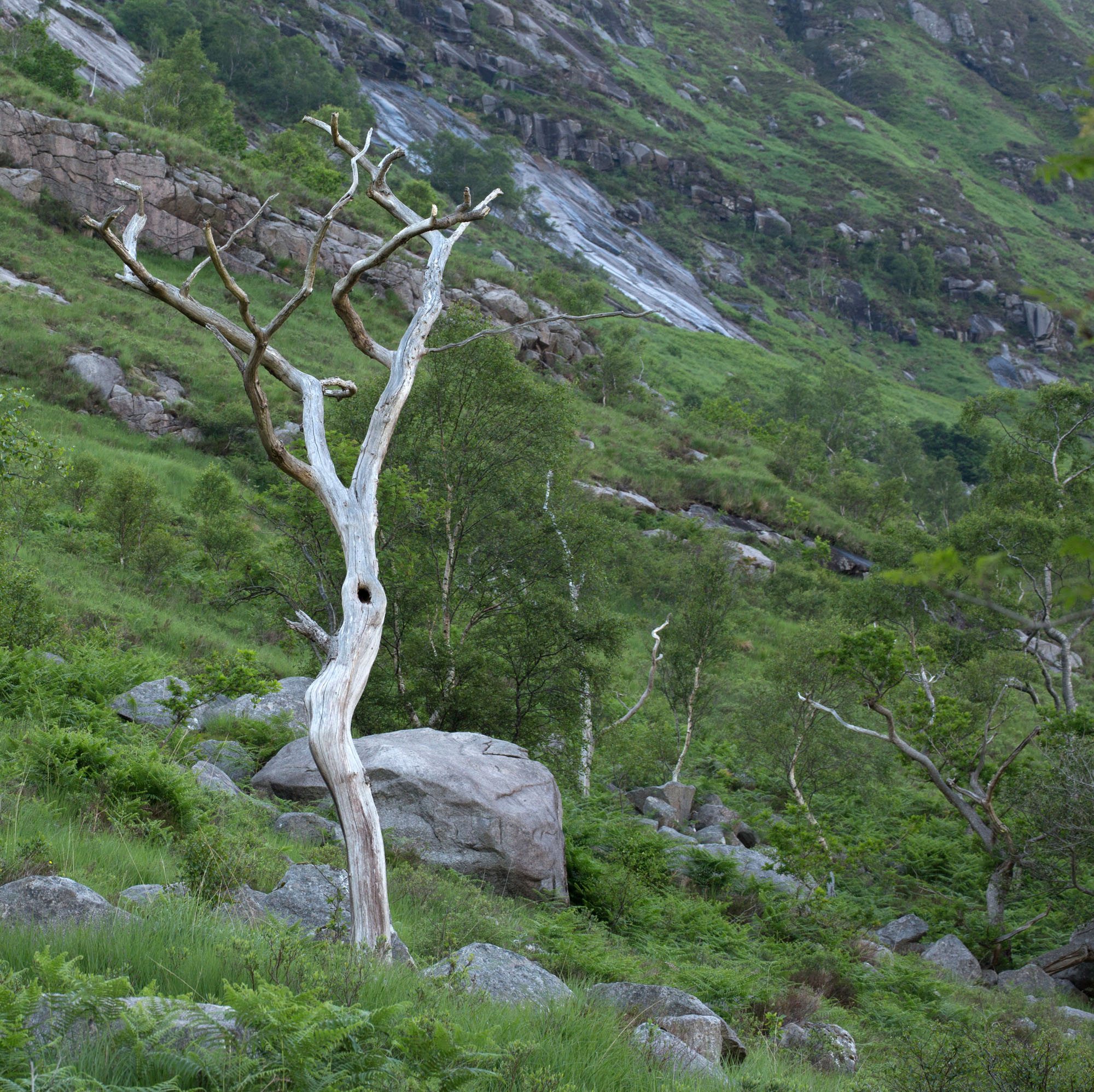 A bare standing tree on a steep green hillside