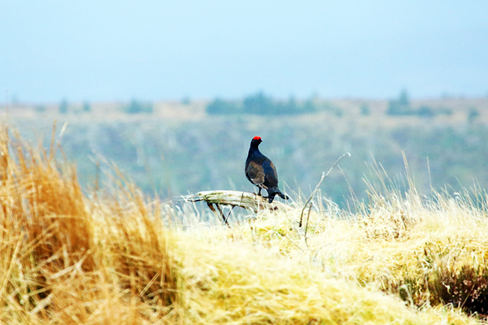 Black game bird with red beak perched on dead tree branch in field of tussocky yellow grass