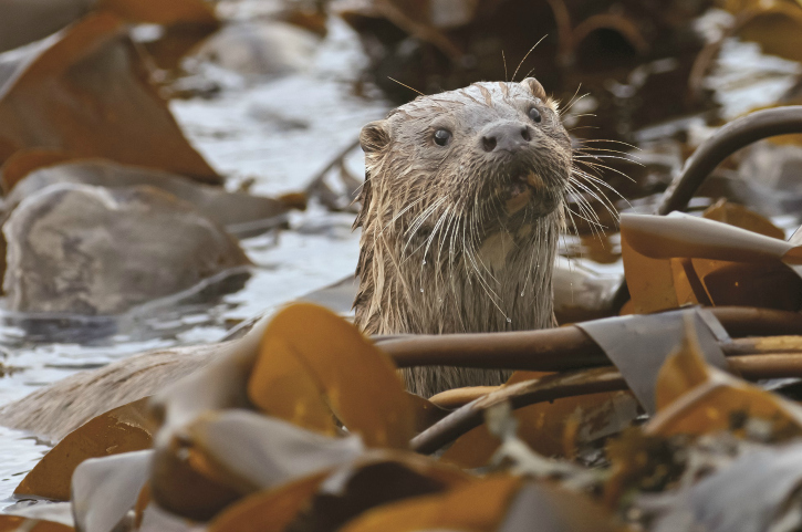 otter in amongst sea weed