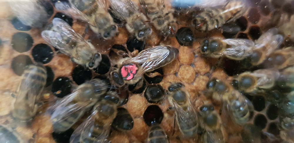 Close up of bees in a beehive, including the queen bee