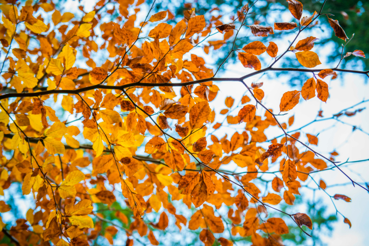 Autumn leaves, orange coloured