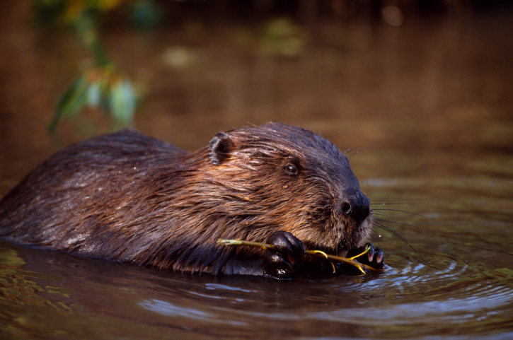 Close-up of a beaver swimming in water with a twig in its mouth