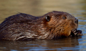Close-up of a beaver in the water
