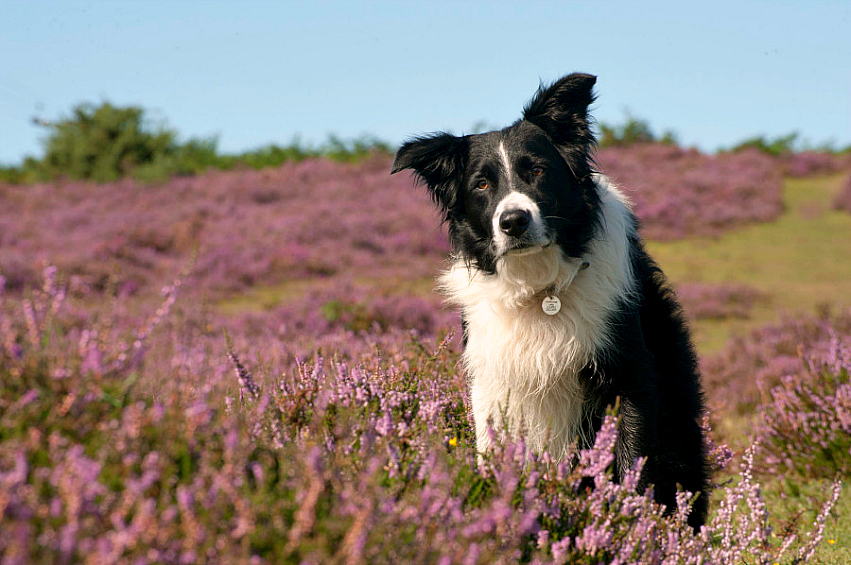 border collie heather