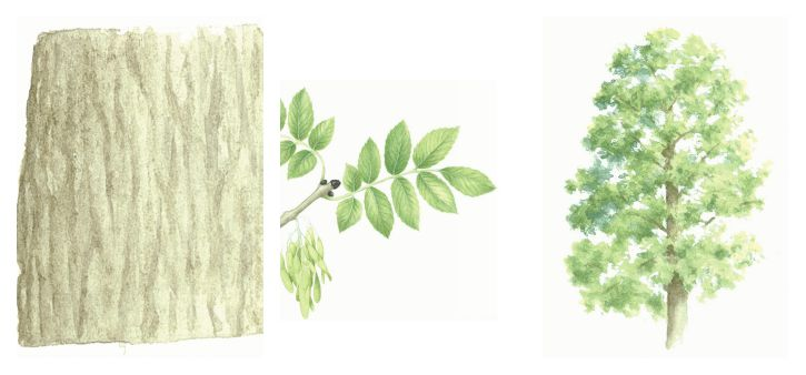botanical drawing of ash tree, bark and leaves