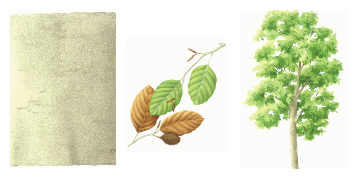 Botanical drawing of beech bark, branches and trees