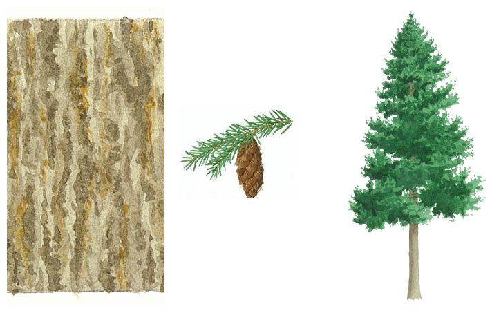 botanical drawings of douglas fir