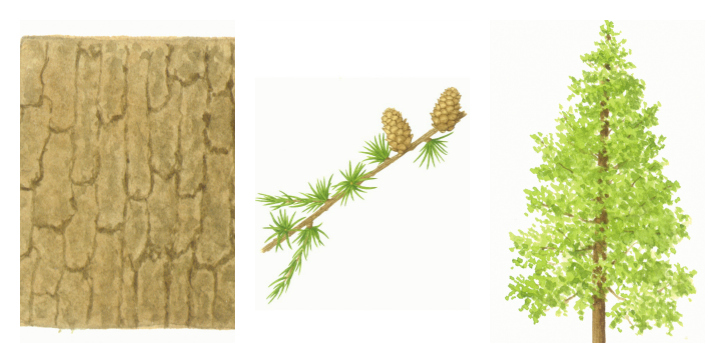 Botanical drawings of hybrid larch