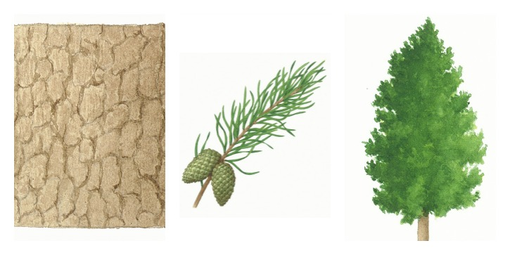 Botanical drawings of lodgepole pine