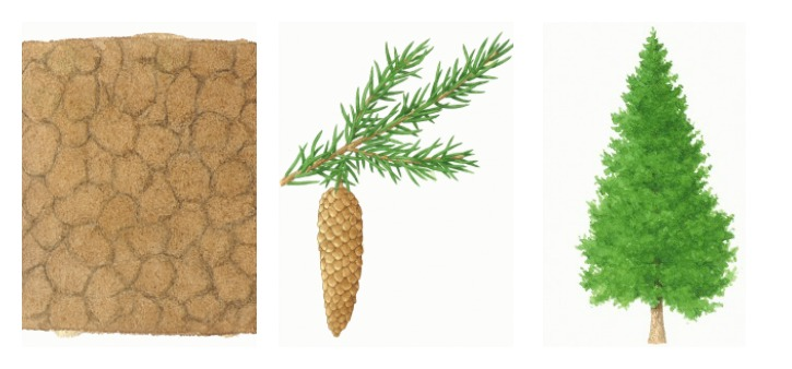 Botanical drawings of norway spruce