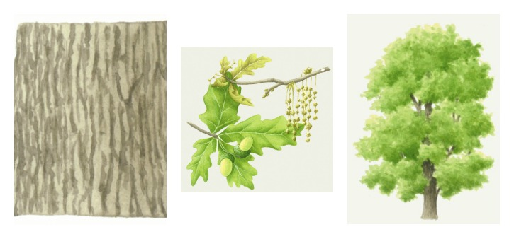 botanical drawings of oak tree