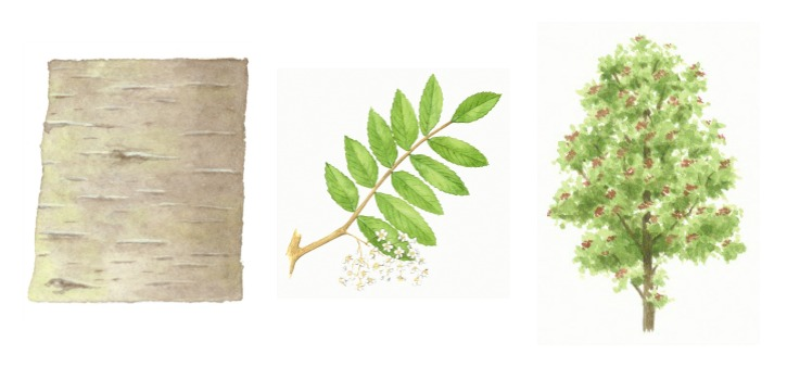botanical drawings of rowan tree