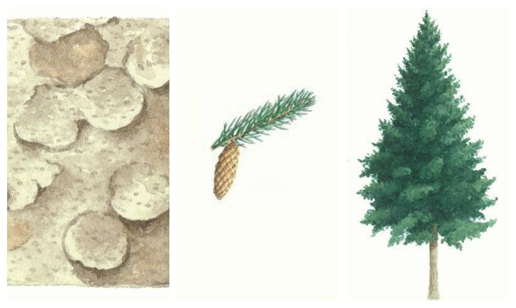 Botanical drawing of sitka spruce tree, bark and branch