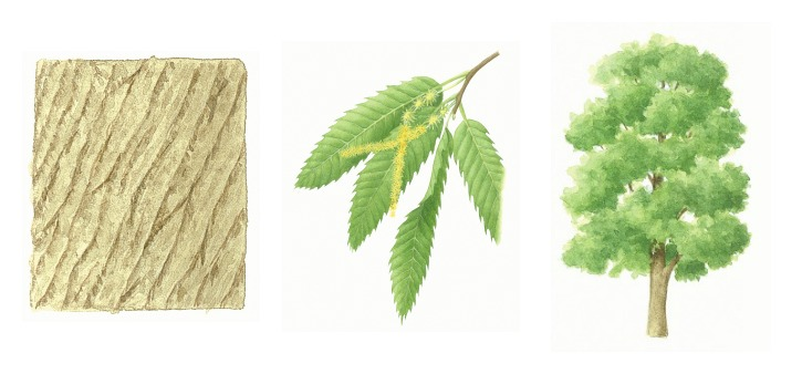 botanical drawings of sweet chestnut tree