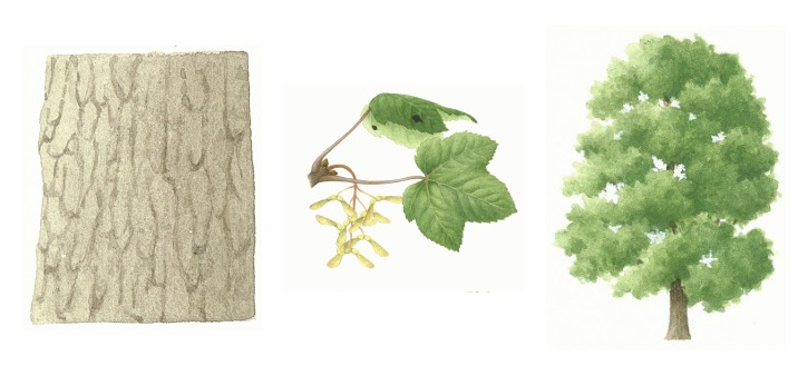 botanical drawings of sycamore tree
