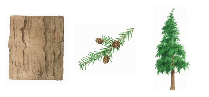botanical drawings of western hemlock tree