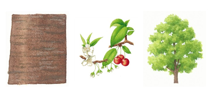 botanical drawings of wild cherry tree