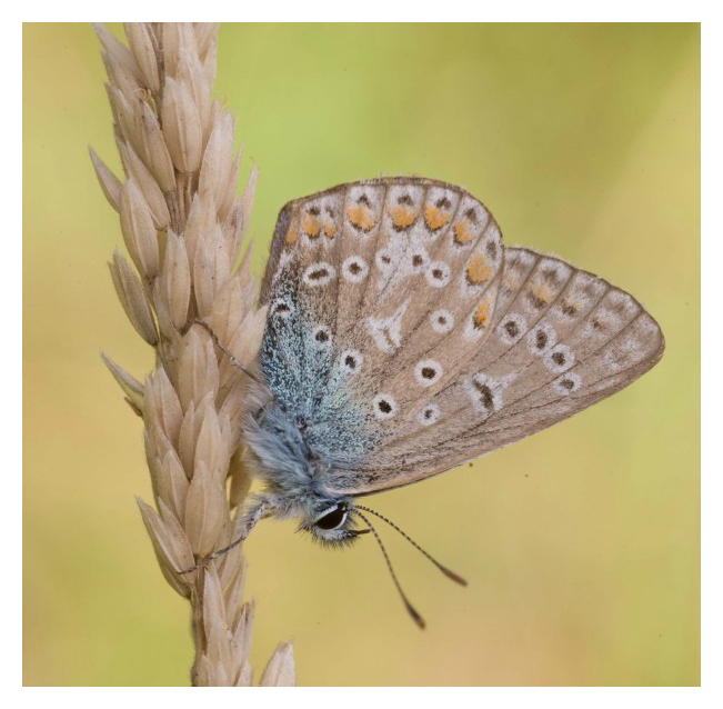 common blue butterfly white border