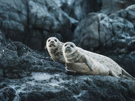 Two common seals lying on black rock looking at camera