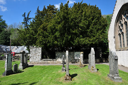 Image of the fortinghall Yew tree