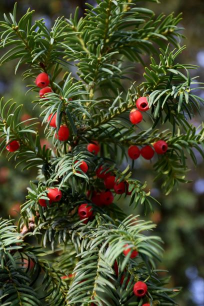 Image of berries on yew tree