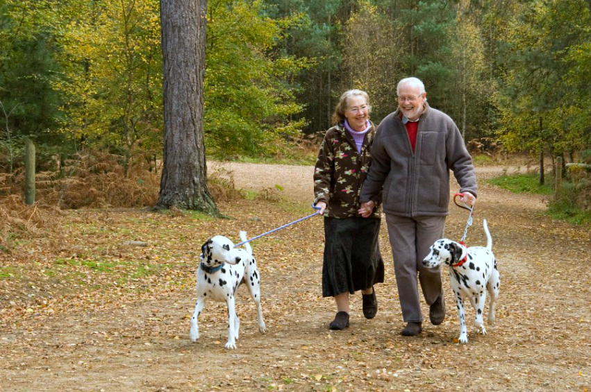 Elderly couple walking two dalmations along a forest path
